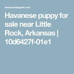 Havanese puppy for sale near Little Rock, Arkansas | 10d6427f-01e1
