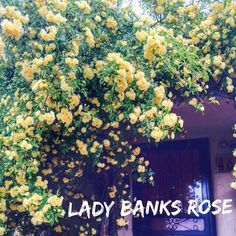 Rosa banksiae Lady banks rose. Gorgeous bloomer for NM right now. A vigorous climber with rich green foliage on thornless slender branches. Miniature double yellow blooms have a slight fragrance. Prolific bloomer for a lovely spring display. A splendid climber for arbors. Evergreen in milder climates. #plantoftheday