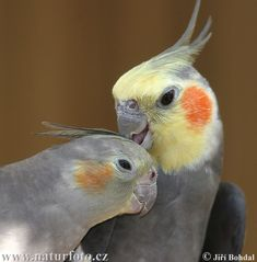 Cockatiel love.There is nothing like seeing two cockatiels in love.  My Frisco and Stormy were like this. (These are not my birds).
