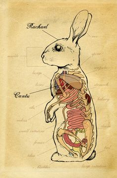 rabbit medical illustration
