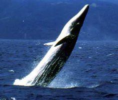 Bryde's Whale breaching