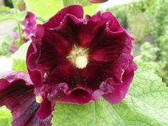 Flowers in a Bee Friendly Garden - Hollyhock