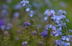 a9773c845 23 Best Forget me not flowers <3 images in 2014 | Forget me not ...