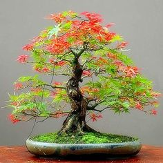 2017 New Mpale Tree Seeds 30 pcs/pack Maple Seeds Bonsai Blue Maple Tree Japanese Maple Seeds Balcony plants for home garden Balcony Plants, Garden Plants, Indoor Plants, House Plants, Potted Plants, Potted Garden, Bonsai Seeds, Tree Seeds, Bonsai Plants