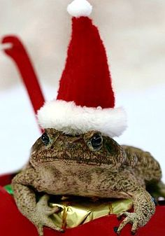 Top 10 Weird and Exotic Animals Wearing Santa Hats Christmas Animals, Christmas Cats, Unusual Animals, Cute Animals, Exotic Animals, Funny Snowman, Frog And Toad, Frog Frog, Merry Christmas Everyone