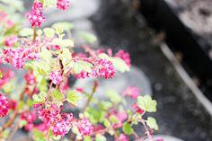 Oravankesäpesä | Ruusuherukka Ribes sanguineum