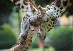 Giraffe Family!