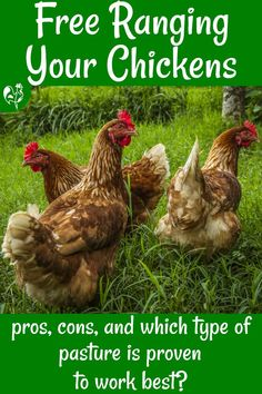 How to free range your chickens: proven research about whether it's good for your flock or not; its impact on chicken welfare and the nutritional value of eggs, and which type of pasture works best. #backyardchickens101 #homesteading #freerange #howtofreerangechickens #freerangeeggs Raising Backyard Chickens, Keeping Chickens, Pet Chickens, Nutritional Value Of Eggs, Laying Hens, Chicken Treats, Free Range, Growing Plants, Homesteading