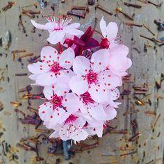 【lani_lowkey】さんのInstagramをピンしています。 《🌸This set is brought to you by the beautiful Sakura tree in my neighborhood🌸 #pastel #aesthetic #rad #sakura #tree #cherryblossoms #iphone #photo》