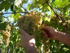 Garganega grape Harvest Soave Classico Verona Italy