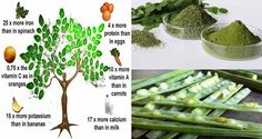 Moringa tree, or 'the miracle tree of life,' is a plant with a wide range of medicinal uses and high nutritional value. The nutritional value and amazing health benefits of the plant Moringa Oleifera tree have been recognized and used in many cultures in various parts of the world for hundreds or ev