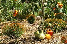 Si vous avez décidé de créer dans votre jardin un carré potager bio ou si vous en avez déjà un mais souhaitez passer au jardinage biologique, voici quelques règles de base. L'essentiel en jardinage biologique est de respecter le sol, de comprendre et s'inspirer de la nature. La règle es…
