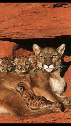 View of a female mountain lion (Felis concolor) with her kittens under a redrock ledge. The mountain lion is also known as the puma, and the cougar. A fully grown mountain lion has a body length of metres and a body weight of up to 100 kg. Big Cats, Cool Cats, Cats And Kittens, Animals And Pets, Baby Animals, Cute Animals, Wild Animals, Beautiful Cats, Animals Beautiful