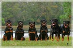 <3 #Rottweilers
