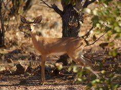 Rafícero común.  Antílope del sur de África.