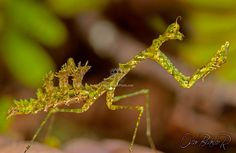Mantis Pogonogaster Tristani