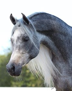 long maned horse breeds - Google Search
