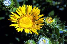 Grindelia hirsutula—hairy gumweed. Regional Parks Botanic Garden Photo of the Day. 4 Aug 17