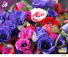 A anêmona é flor resistente que deve ser mantida em áreas com luminosidade média. As suas mudas ou sementes podem ser plantadas durante o outono e costumam florescer na primavera. O significado de seu nome é persistência, perseverança e consolo. :*