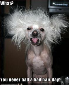 These are 15 funny dog grooming pictures featuring the funniest dog haircuts and hairstyles ever imagined. Enjoy and have a good laugh! Vida Animal, Mundo Animal, Bad Hair Day Funny, Photo Humour, Funny Animals, Cute Animals, Dog Haircuts, Chinese Crested Dog, Funny Ads
