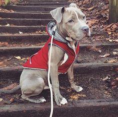 Perritos :3 #pitbull