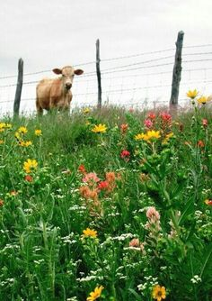 Moo, Moo, I wish I could have a taste of those pretty flowers..