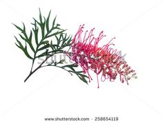 Find australian wildflowers stock images in HD and millions of other royalty-free stock photos, illustrations and vectors in the Shutterstock collection. Thousands of new, high-quality pictures added every day. Botanical Drawings, Botanical Art, Botanical Illustration, Australian Wildflowers, Australian Native Flowers, Flower Bird, White Stock Image, Flower Images, Free Illustrations