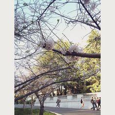我们大伯村也有樱花#ucberkeley#campus#cherryblossom by xsunnyyyyy