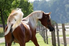 Beautiful Arabian Horses, Most Beautiful Horses, Pretty Horses, Farm Animals, Animals And Pets, Horse Coat Colors, Exotic Pets, Exotic Animals, Horses And Dogs