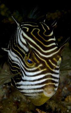 Shaw's cowfish - Aracana aurita Photo by Jason Isley Underwater Sea, Underwater Creatures, Ocean Creatures, Weird Creatures, Alien Fish, Beautiful Sea Creatures, Fish Face, Salt Water Fish, Life Aquatic