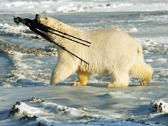 Polar bear stealing a tripod set up to film it.