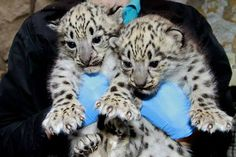 Gah, the cuteness! The huge paws with claws! Zoo Boise's wee snow leopard cubs (male and female, born May 23) are too adorable.    (Photo via www.SnowLeopard.org, a wonderful non profit working to save these precious endangered animals.)
