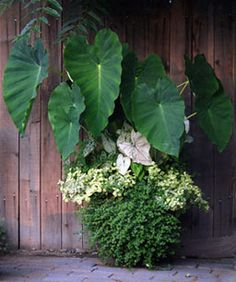 THRILL  Elephant ear - Colocasia esculenta FILL Caladium bicolor 'White Christmas', Licorice plant - Helichrysum petiolare 'Limelight', Begonia 'Fortune White', annual, SPILL Bacopa - Sutera cordata Snowstorm Giant Snowflake
