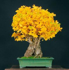 Bonsai de Ginkgo biloba, durante o outono.  Fotografia: http://bonsaibark.com