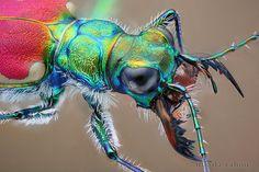 Mongolian tiger beetle - macrophotography by Nikola Rahmé