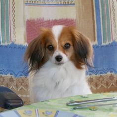Phalène / Phalene / Papillon / Continental Toy Spaniel / Epagneul Nain Continental #Dogs #Puppy