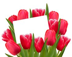 Transparent Red Tulips Decoration Clipart Picture