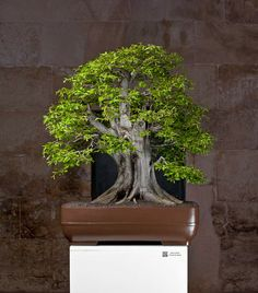 Bonsai Plants, Bonsai Trees, Photo Tree, Emperor, Oriental, Around The Worlds, Home And Garden, Herbs, Gardening
