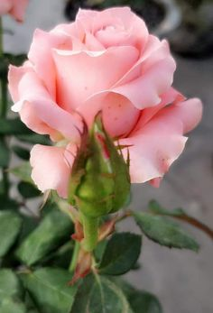 Exotic Flowers, My Flower, Pretty Flowers, Types Of Roses, Flower Images, Beautiful Roses, Pink Roses, Planting Flowers, Bouquet