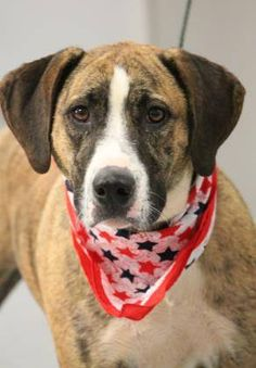 ADOPTED>NAME: Addison  ANIMAL ID: 31904349  BREED: Hound  SEX: female (spayed)  EST. AGE: 2 yr  Est Weight: 59 lbs  Health: heartworm pos  Temperament: dog friendly, people friendly.  ADDITIONAL INFO: RESCUE PULL FEE: $35  Intake date: 6/15  Available: 6/21