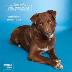 Meet Blaze a Petfinder adoptable Australian Shepherd Dog | Prescott, AZ | Blaze looks to be a 3 to 4 year-old Aussie / Chocolate Lab mix.  He's a pretty mellow guy who just...
