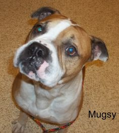 My name is Mugsy. I am a 5 year old, male, tan and white, American Bulldog/Boxer mix and Jane is not allowed to adopt me.