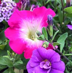 Pink Morn Petunia, Lavender Stream Lobularia, Double Amethyst Calibrachoa