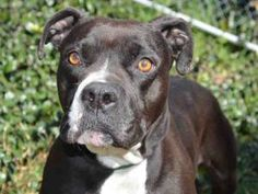 FLORIDA is an adoptable Pit Bull Terrier Dog in Martinez, CA.  ...