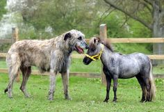Falabella horse standing next to wolfhound.