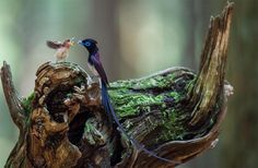 japanese paradise flycatcher father and her baby