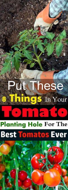 Put These 8 Things in Your TOMATO Planting Hole For The Best Tomatoes Ever Do you want to grow the best tomatoes in taste and size? And want to have a bumper harvest? Then put these things in the hole before planting your tomato plant! Growing Tomatoes In Containers, Growing Vegetables, Growing Plants, Veg Garden, Edible Garden, Lawn And Garden, Vegetable Gardening, Terrace Garden, Veggie Gardens