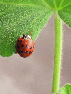 lady bug for good luck