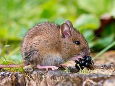Field mouse on golden grass against blurred green background. Free art print of Field mouse. Crazy Cat Lady, Crazy Cats, Fruit Cartoon, Hamster, British Wildlife, Free Art Prints, Cute Animals, Small Animals, Wild Animals