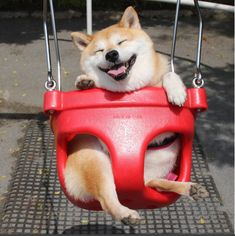 Uni-chan's owner, Meme, told BuzzFeed that she takes Uni-chan out for a walk early each morning so she has the swings to herself. | There's A Shiba Inu Who Loves Swings So The World Can't Be That Bad